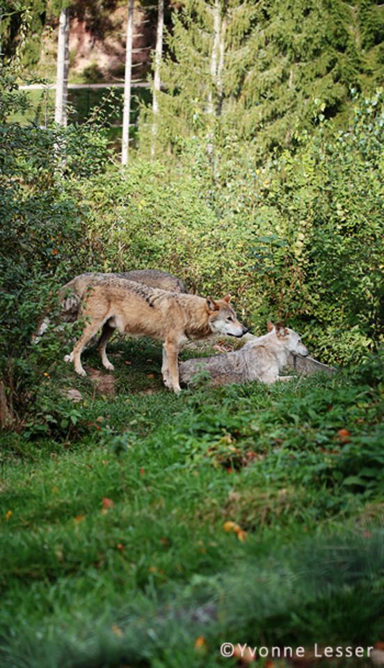 """Organizacija """"Atgal į gamtą – Pagalba laukiniams gyvūnams"""" siūlo išgabenti vilką į rezervatą Vokietijoje.<br>Švarcvaldo rezervato nuotr."""