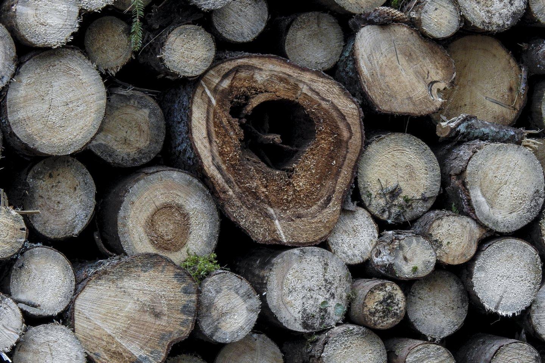 Pajūrio ir Varėnos pušynus užpuolus vienuoliui verpikui, šį pavasarį planuojama nupurkšti beveik 6 tūkst. hektarų miškų ploto.<br>V.Ščiavinsko nuotr.