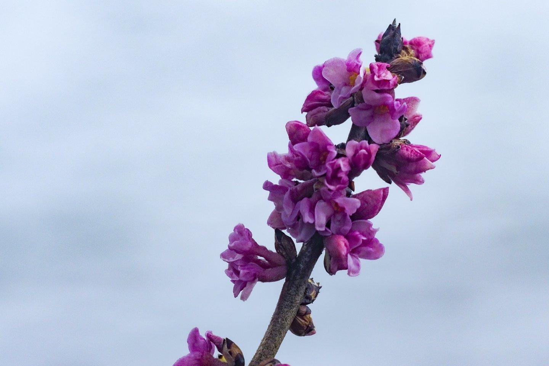 Žalčialunkis vilioja savo nuostabiais žiedais, tačiau augalas yra labai nuodingas.<br>V.Ščiavinsko nuotr.