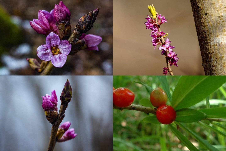 Visas žalčialunkio augalas yra mirtinai nuodingas.<br>V. Ščiavinsko/Wikipedia nuotr.
