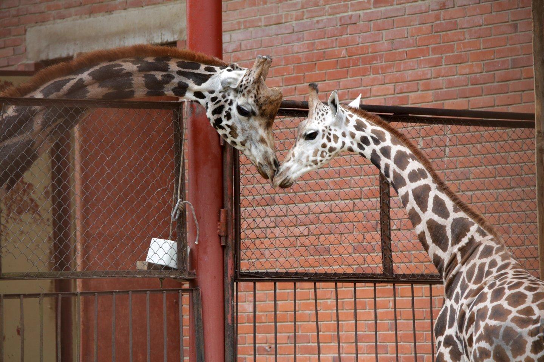 Lietuos zoologijso sodo gyventojai.<br>P.Mantauto nuotr.