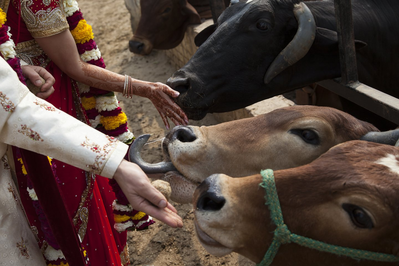Per vestuves pora netgi maitino karves.<br>O.Vaitkūnas nuotr.