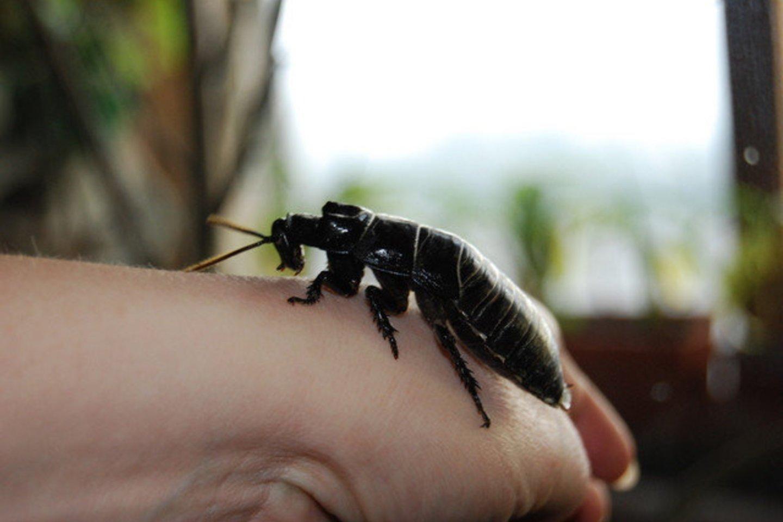 Keli iš kaltinamųjų organizavo anoniminį sukrečiančio turinio siuntinių, tarp kurių buvo ir gyvi tarakonai, pristatymą į aukų namus.<br>A.Barzdžiaus nuotr.