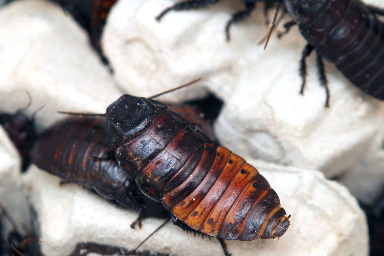 Keli iš kaltinamųjų organizavo anoniminį sukrečiančio turinio siuntinių, tarp kurių buvo ir gyvi tarakonai, pristatymą į aukų namus.<br>M.Patašiaus nuotr.