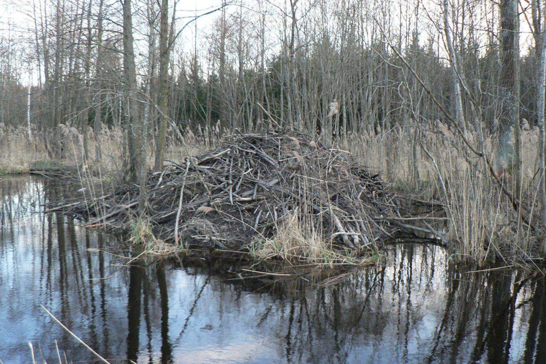 Atliktas bebrų naudos aplinkai tyrimas.<br>O. Belovos nuotr.