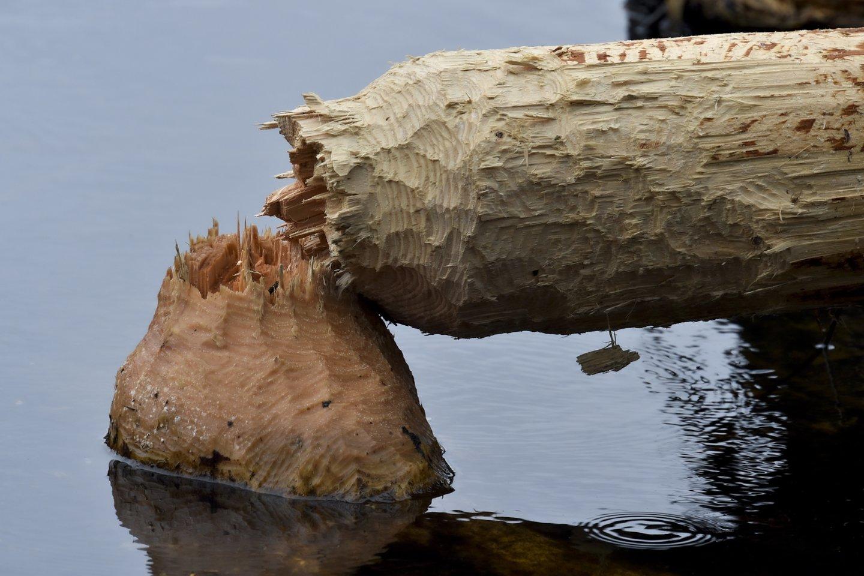 Atliktas bebrų naudos aplinkai tyrimas.<br>V.Ščiavinsko nuotr.