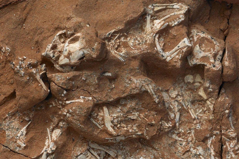 Šeši protoceratopsų embrionai.<br>M. Ellison/AMNH nuotr.