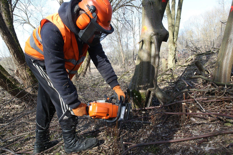 Ąžuolyne augančios liepos, klevai, kiti medžiai pažymėti žaliais kryžiais. Rudenį šie medžiai bus genimi arba pjaunami. Seniems ąžuolams, kuriuos reikia tvarkyti arba prie kurių gyvena saugomi vabalai, suteikti numeriai, užrašyti specialiose lentelėse. Tokių ąžuolų suskaičiuota net 360.<br>M.Patašiaus nuotr.