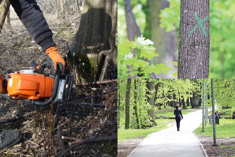 Ąžuolyne augančios liepos, klevai, kiti medžiai pažymėti žaliais kryžiais. Rudenį šie medžiai bus genimi arba pjaunami. Seniems ąžuolams, kuriuos reikia tvarkyti arba prie kurių gyvena saugomi vabalai, suteikti numeriai, užrašyti specialiose lentelėse. Tokių ąžuolų suskaičiuota net 360.<br>Lrytas.lt archyvo nuotr.