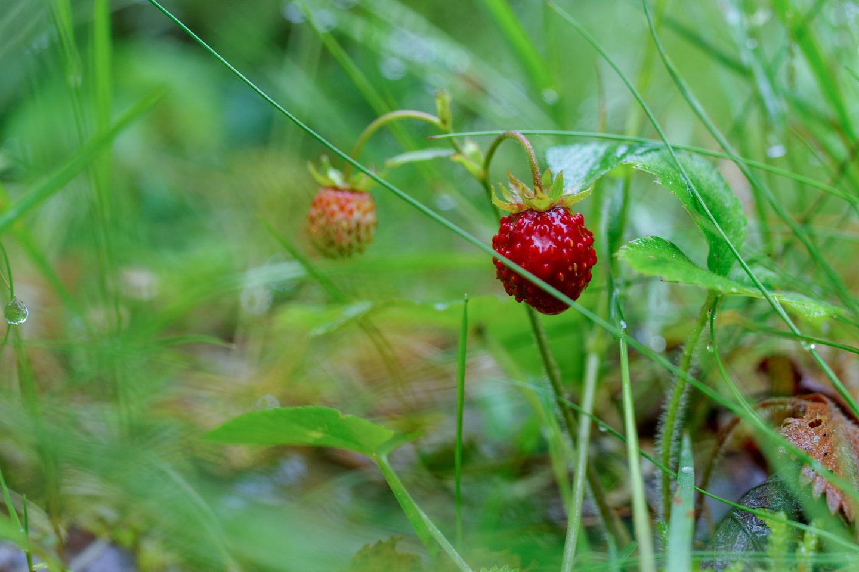 Džiaugdamiesi šiltais orais grybautojai ir uogautojai lekia į miškus.<br>V.Ščiavinsko nuotr.