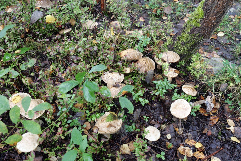Džiaugdamiesi šiltais orais grybautojai ir uogautojai lekia į miškus.<br>V.Balkūno nuotr.