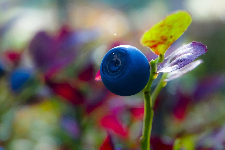 Netrukus prasidės lietuviškų mėlynių sezonas.<br>V.Ščiavinsko nuotr.