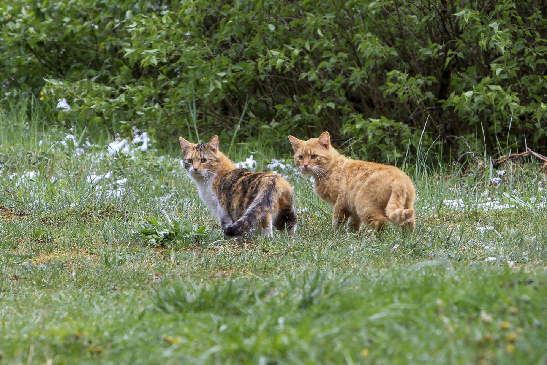 20 priežasčių, kodėl katės yra absoliučiai geriausios augintinės.<br>V.Ščiavinsko nuotr.