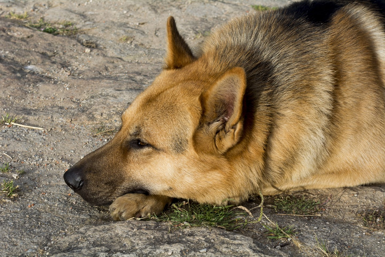 Užmigdytas pirmas šuo, kuriam buvo nustatytas koronavirusas.<br>123rf.com