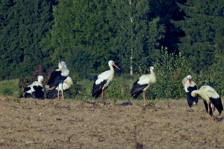 Gandrai,paukščių migracija,orai<br>V.Ščiavinsko nuotr.