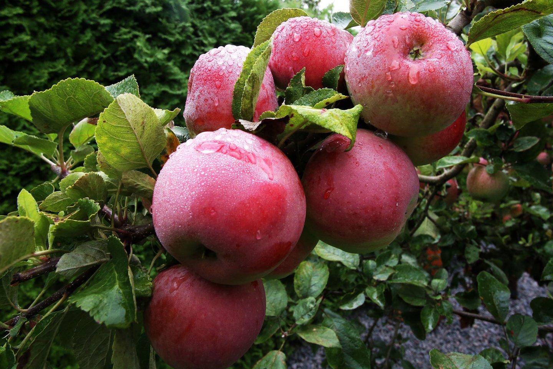 Po rekordiškai prasto praėjusių metų obuolių derliaus, šiemet jų augintojai sako, kad lietuviškų obuolių bus daugiau ir geresnės kokybės. Sulčių spaudėjai teigia, kad šiųmetinis derlius vėluoja, tačiau taip pat tikisi kur kas geresnio sezono.<br>M.Patašiaus nuotr.