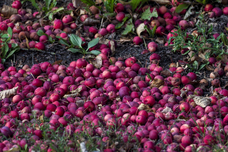 Po rekordiškai prasto praėjusių metų obuolių derliaus, šiemet jų augintojai sako, kad lietuviškų obuolių bus daugiau ir geresnės kokybės. Sulčių spaudėjai teigia, kad šiųmetinis derlius vėluoja, tačiau taip pat tikisi kur kas geresnio sezono.<br>V.Ščiavinsko nuotr.