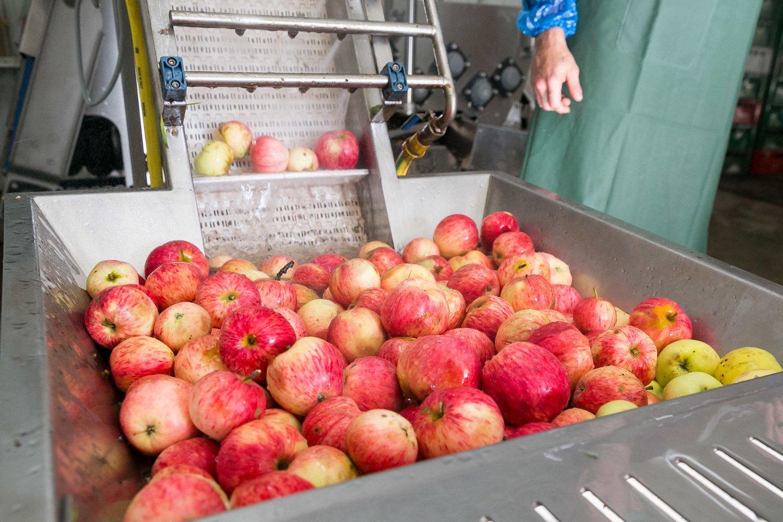 Po rekordiškai prasto praėjusių metų obuolių derliaus, šiemet jų augintojai sako, kad lietuviškų obuolių bus daugiau ir geresnės kokybės. Sulčių spaudėjai teigia, kad šiųmetinis derlius vėluoja, tačiau taip pat tikisi kur kas geresnio sezono.<br>T.Bauro nuotr.