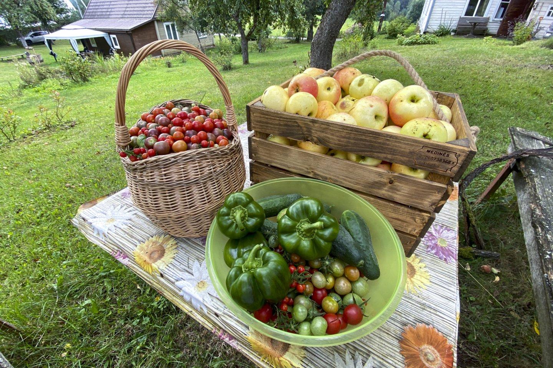 Pastaruoju metu Lietuvos pomidorų augintojai imasi gaivinti senąsias veisles. Tokias, kuriomis sovietmečiu pomidorų augintojos dalinosi sėklomis<br>V.Ščiavinsko asociatyvios nuotr.