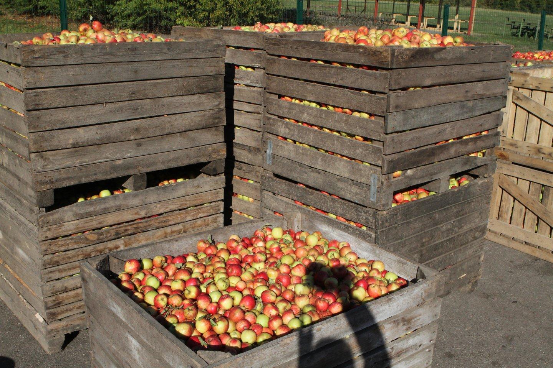 Lietuviškų obuolių bus daugiau ir geresnės kokybės.<br>M.Patašiaus nuotr.