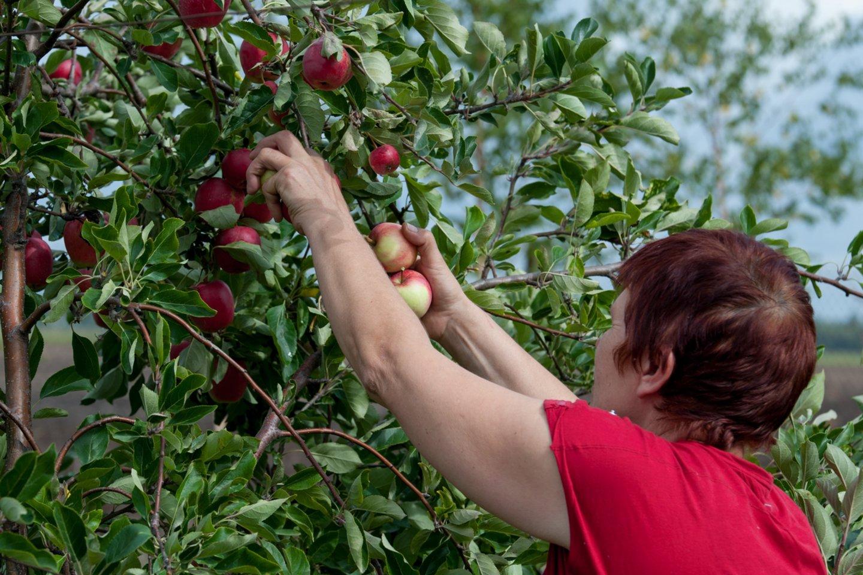 Lietuviškų obuolių bus daugiau ir geresnės kokybės.<br>V.Ščiavinsko nuotr.