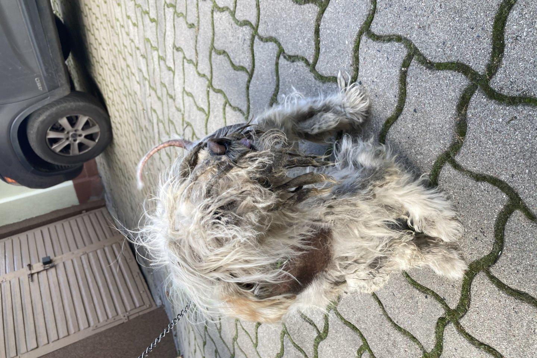 """Neprižiūrimi gyvūnai buvo skubiai išvežti į veterinarijos klinikas, prieglaudas, perduoti savanoriams (nuotr. Jonavoje rastas bišonų veislės šuo).<br>Žaliakalnio veterinarijos klinikos ir prieglaudos """"Penkta koja"""" nuotr."""
