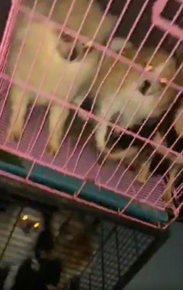 Nelegaliuose šunų veislynuose neramu ir jų gyventojams, ir savininkams.<br>Stop kadrai.