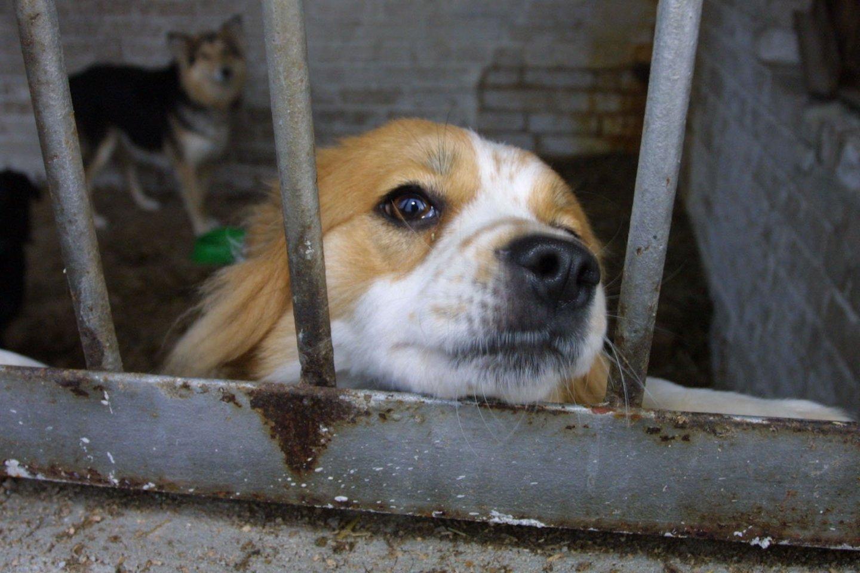Nelegaliuose šunų veislynuose neramu ir jų gyventojams, ir savininkams.<br>M.Patašiaus nuotr.