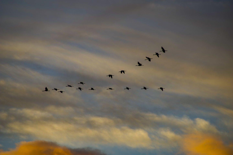 Novaraiščio ornitologinis draustinis,gervių migracija,ruduo,orai<br>V.Ščiavinsko nuotr.
