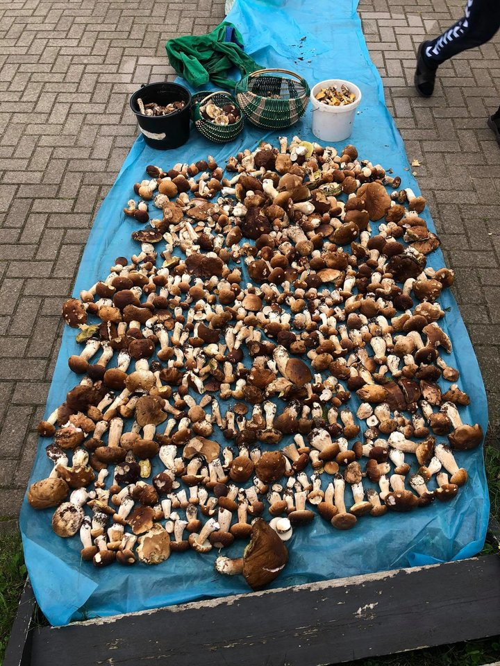 Miške šalia Vilniaus šeima vos per dvi valandas surinko apie 700 grybų!<br>A. Blaževič nuotr.