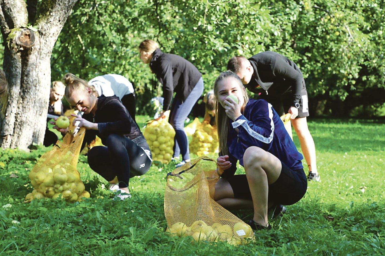 Per valandą LPM kursantams T.Ivanausko Obelynės sodyboje pavyko pririnkti daugiau kaip 100 maišų obuolių.<br>KRS nuotr.