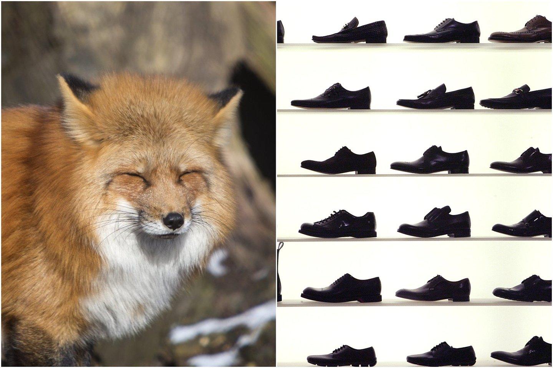 """Lieka neaišku, kodėl lapė vogė batus – ir kodėl jai labiausiai patiko """"kroksai"""".<br>lrytas.lt koliažas."""