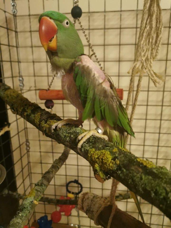 Papūga amazonė sau plunksnas nusipešiojo po šeimininko mirties – dabar plunksnos kiek ataugo.<br>Asmeninio archyvo nuotr.