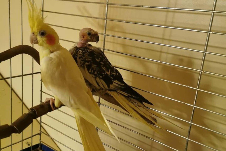 Kartais be plunksnų lieka ir papūgos nimfos.<br>Asmeninio archyvo nuotr.