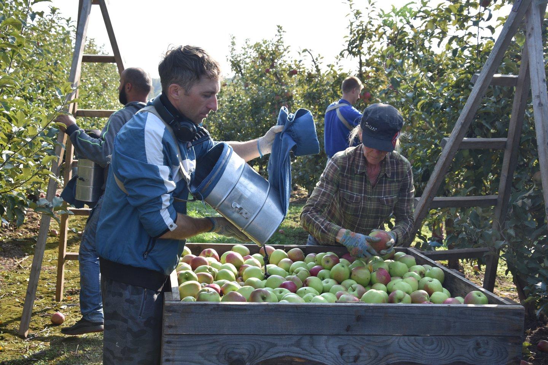 """Šie ką tik nuskinti obuoliai """"Maximos"""" tinklo parduotuvėse atsidurs sausį – žmonės juos galės valgyti net iki gegužės.<br>A.Srėbalienės nuotr."""