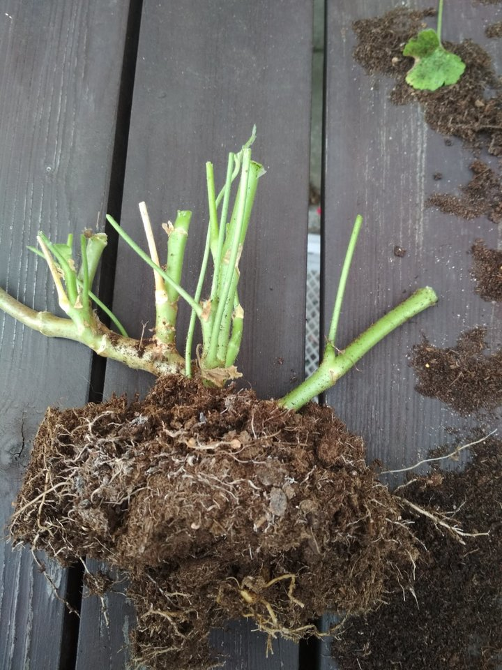 Socialiniuose tinkluose gėlių augintojai ieško patarimų, kaip lietuvių sodybose itin mėgstamas pelargonijas paruošti žiemai, kad kitąmet vėl būtų galima džiaugtis žiedais.<br>S.Stanislavičės nuotr.