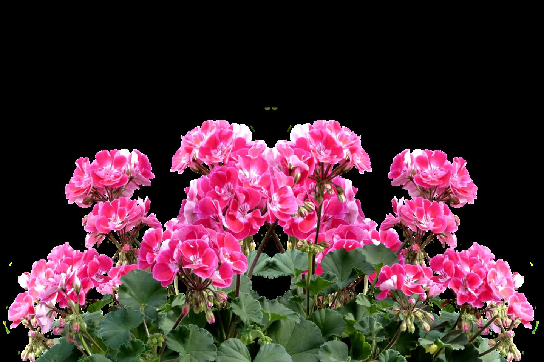 Socialiniuose tinkluose gėlių augintojai ieško patarimų, kaip lietuvių sodybose itin mėgstamas pelargonijas paruošti žiemai, kad kitąmet vėl būtų galima džiaugtis žiedais.<br>pixabay.com nuotr.