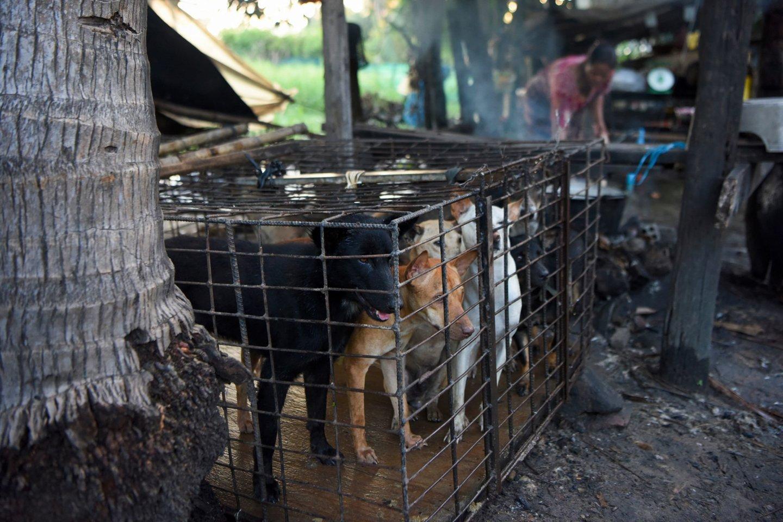 Barbariška tradicija kelia siaubą: šunys slapta auginami ir skerdžiami dėl mėsos.<br>AFP?sacnpix nuotr.