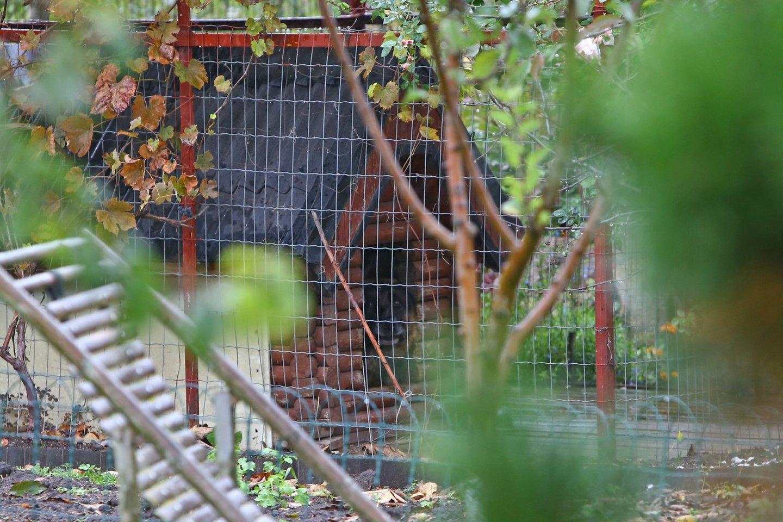 Senolę sužalojęs vilkšunis uždarytas aptvare.<br>G.Šiupario nuotr.
