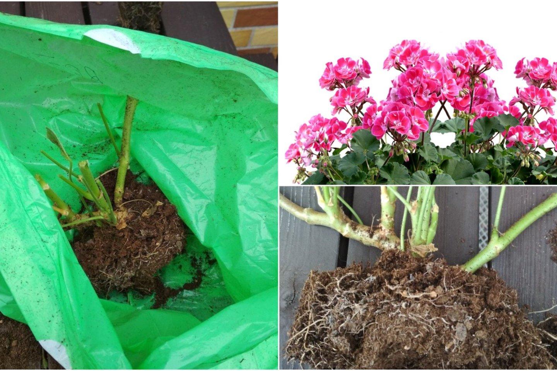 Socialiniuose tinkluose gėlių augintojai ieško patarimų, kaip lietuvių sodybose itin mėgstamas pelargonijas paruošti žiemai, kad kitąmet vėl būtų galima džiaugtis žiedais.<br>lrytas.lt montažas