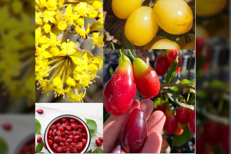Rudeniniai augalai iki pat pirmųjų šalnų džiugina akis savo grožiu ir išskirtinių skonių vaisių asorti.