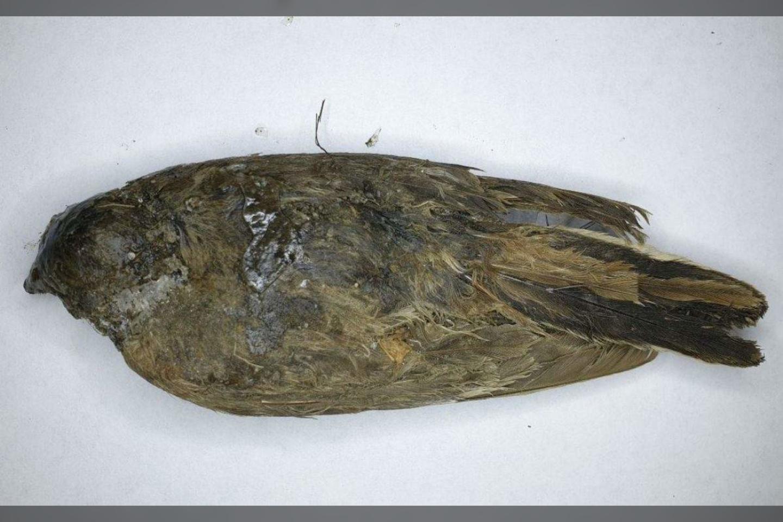 """Fosilijų medžiotojai Sibire rado prieš 46 000 metų gyvenusį """"ledo paukštį"""", kuris atrodo taip, tarsi būtų nugaišęs tik prieš kelias dienas.<br>Valerijaus Plotnikovo nuotr."""