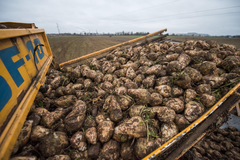 Lietuvos cukrinių runkelių augintojai mano, kad cukraus akcizo įvedimas galėtų padaryti didžiulę žalą cukraus sektoriuje dirbančioms įmonėms.<br>D.Umbraso nuotr.