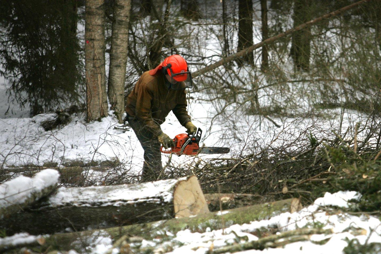 Išretintas, išvalytas jaunuolynas – tai lyg tvirti būsimo miško pamatai.<br>V.Balkūno nuotr.