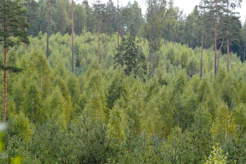 Išretintas, išvalytas jaunuolynas – tai lyg tvirti būsimo miško pamatai.<br>V.Ščiavinsko nuotr.