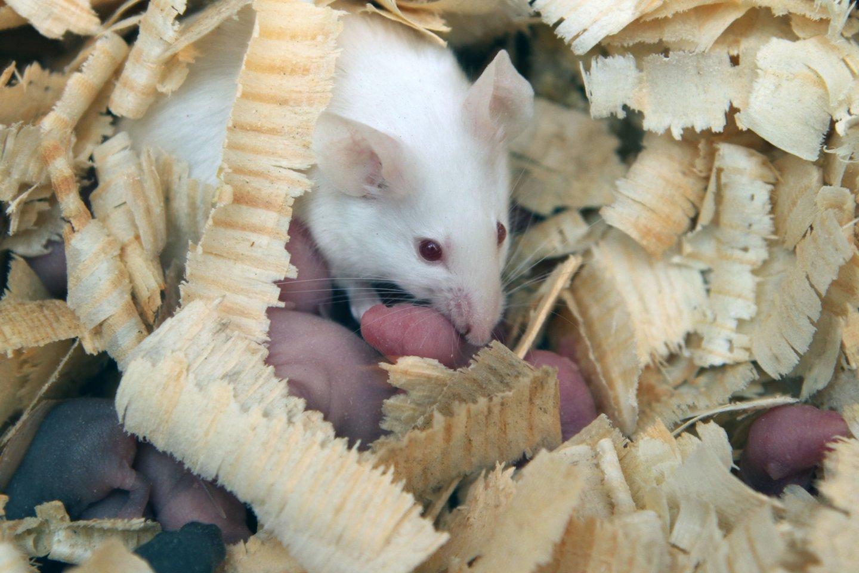 Harvardo medicinos mokyklos tyrėjai sėkmingai sugražino regėjimą dėl senatvės jį praradusioms pelėms.<br>M.Patašiaus nuotr.