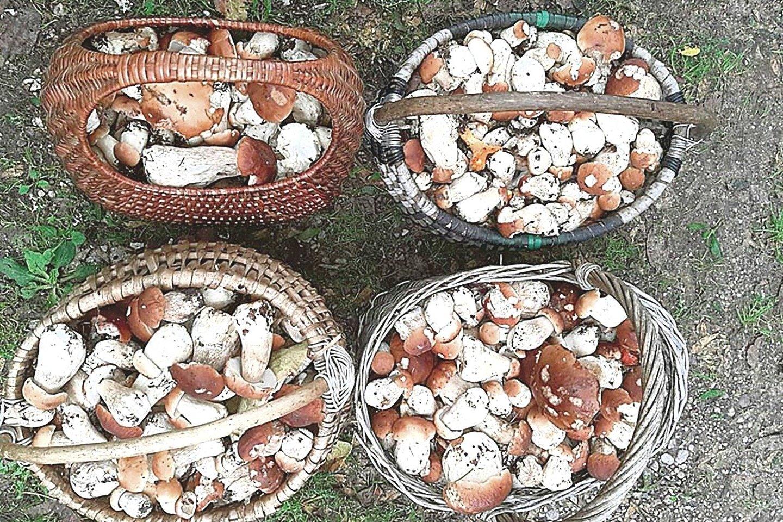Šį rudenį orai buvo ypač palankūs grybams, todėl jie Lietuvos miškuose dygo neįtikėtinais kiekiais.<br>V.Ščiavinsko nuotr.