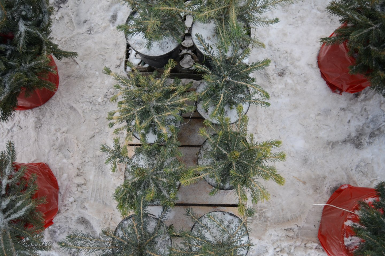 --- Domantas Umbrasas --- kalėdinės eglutės, kaledo, sodinukai, smulkioji prekyba, šventės, medis, medžiai, kalėdinis medis<br>kiti