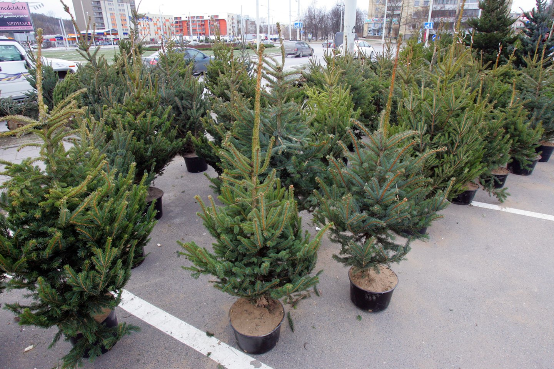 Vilniaus meras R. Šimašius kviečia sodinti Kalėdų mišką.<br>V.Balkūno nuotr.