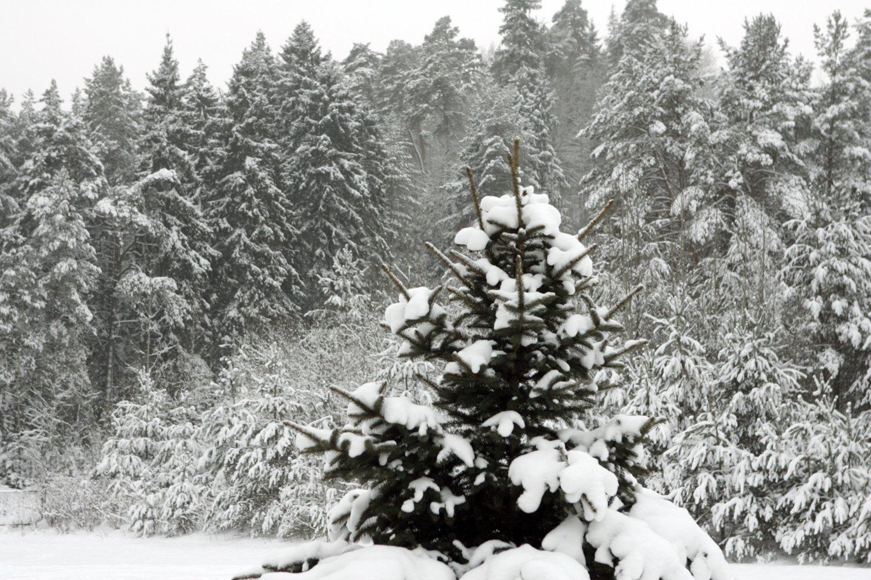 Vilniaus meras R. Šimašius kviečia sodinti Kalėdų mišką.<br>V.Ščiavinsko nuotr.
